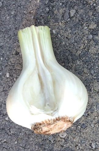 Wet Garlic