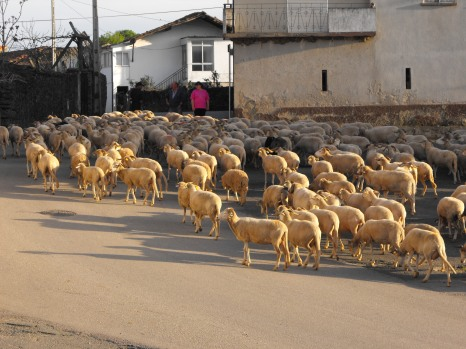 Sheep Coming Back from the Fields