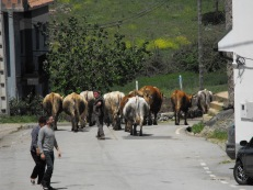 Cattle going out to the fields